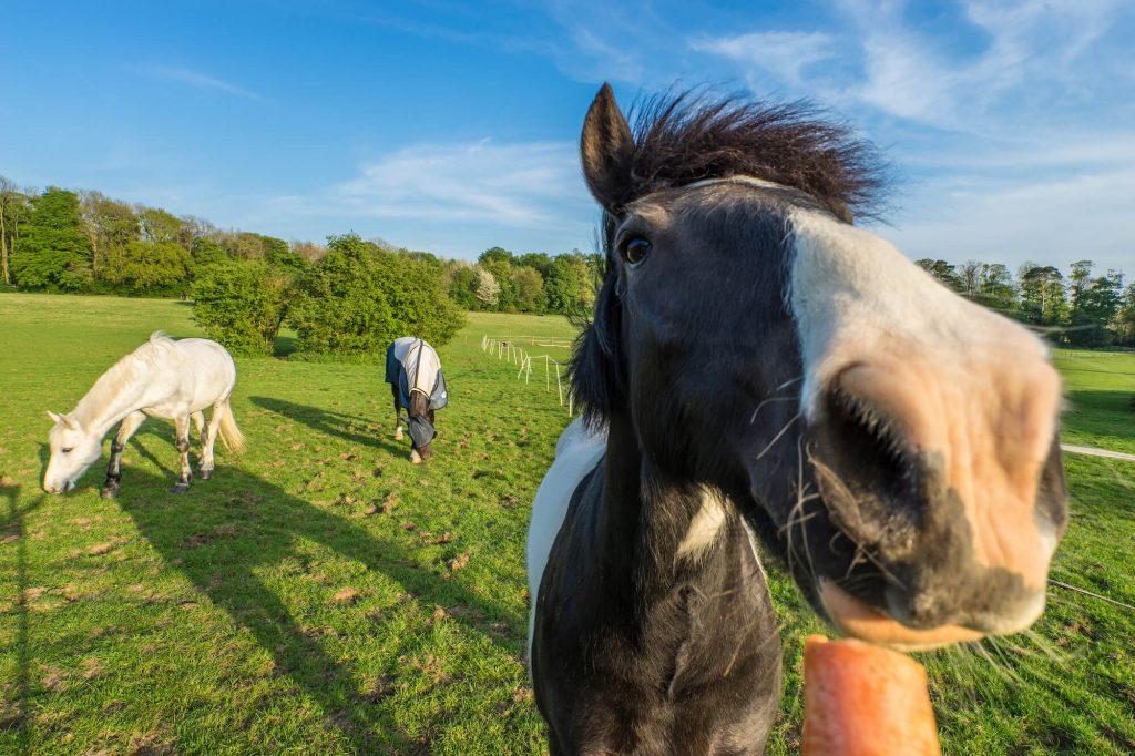 Pferd isst eine Möhre